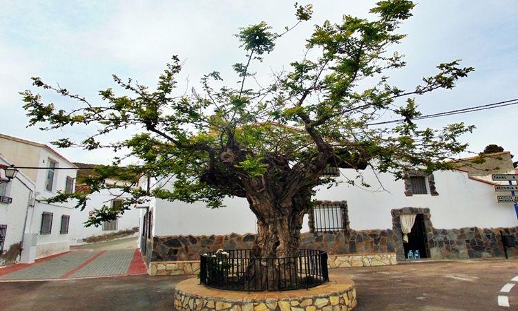 The Acacia of Benitagla (Benitagla - Almeria)