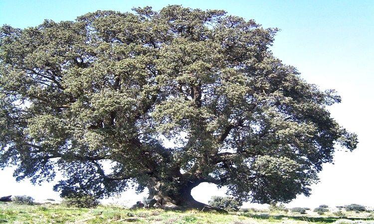 Millenary Oak (Seron - Almeria)