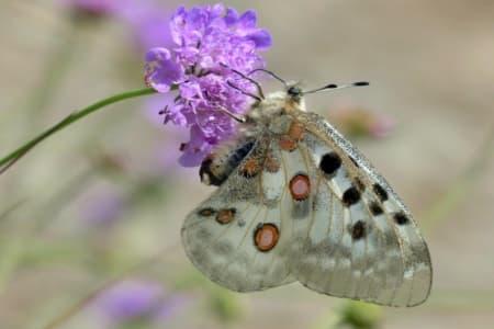 Mariposa Apollo