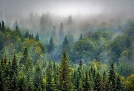 Pinar con niebla